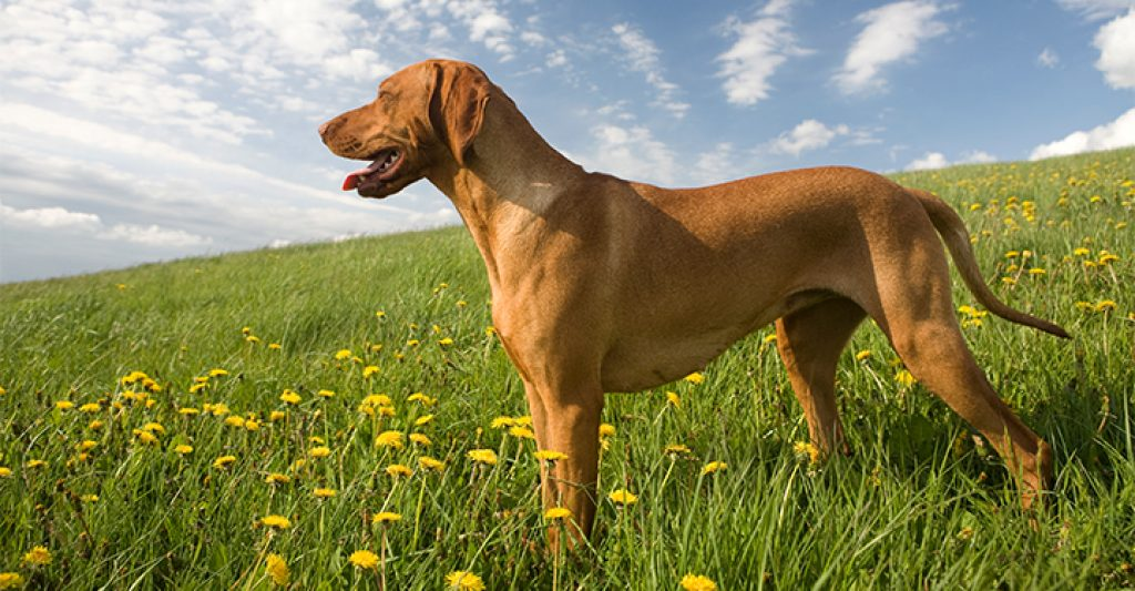 dog-in-field-joint-pain